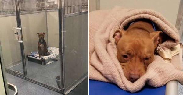 พิทบูลถูกทิ้งหลายหนทั้งระแวงและหวาดกลัว จนศูนย์พักพิงสัตว์เข้าช่วยเหลือไว้