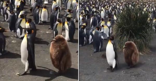 """ลูกเพนกวินคอตกเดินตามแม่ต้อยๆ ด้านชาวเน็ตบอกว่าเหมือน """"ลูกกีวี่ยักษ์"""" เดินได้"""