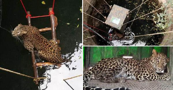 กู้ภัยสัตว์ช่วยเสือดาวที่พลัดตกบ่อน้ำ และส่งตัวกลับคืนสู่ธรรมชาติอย่างปลอดภัย