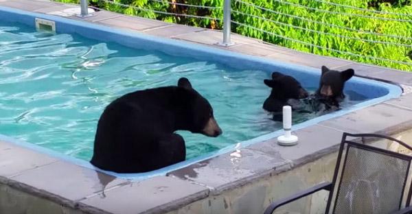 แม่หมีพาลูกหมี 2 ตัว เล่นน้ำสระหลังบ้าน พักผ่อนกันไม่เกรงใจเจ้าของบ้านกันเล๊ยยยยย