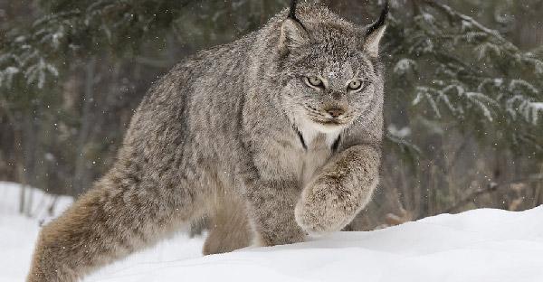 10 แมวป่าสายพันธุ์หายากจากทั่วโลก ที่ดูน่ารักและสง่างามเหนือใคร