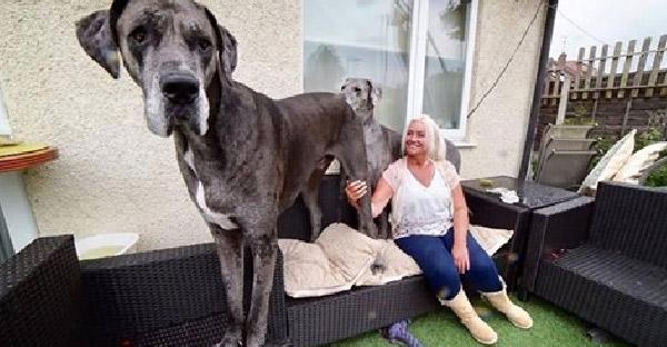 """Freddy เจ้าของสถิติกินเนสบุ๊ค """"สุนัขสูงที่สุดในโลก"""" ที่มีความสูงพอๆกับเหยาหมิง"""