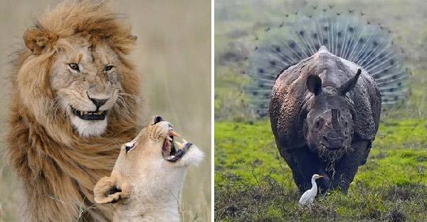 21 ภาพสัตว์ป่ายอดเยี่ยมที่ผ่านเข้าชิง จากการประกวด Comedy Wildlife