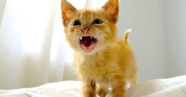 นักวิทยาศาสตร์เผยแมวมีภาษาเฉพาะ ที่ออกแบบโดยพฤติกรรมร่วมกับเจ้าของเท่านั้น