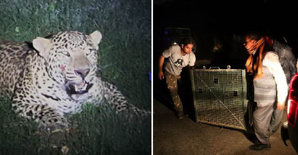 เสือดาวถูกรถชนนอนบาดเจ็บ และสาเหตุเพราะมนุษย์รุกรานที่อยู่ของพวกมัน