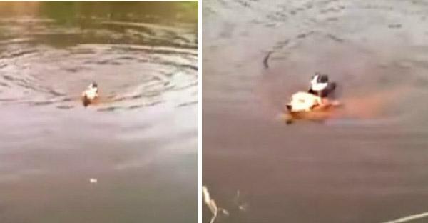 หมาฮีโร่กระโดดช่วยลูกแมวที่กำลังจมน้ำ และพากลับฝั่งอย่างปลอดภัย