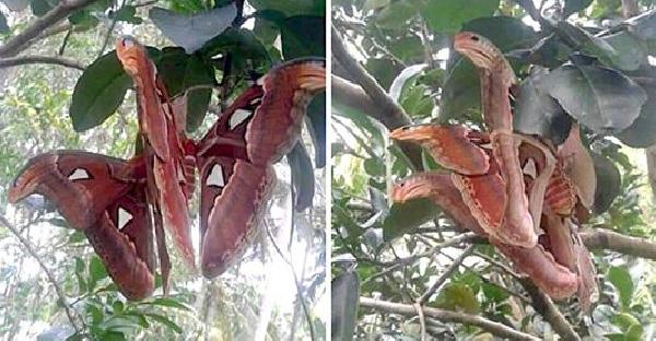 """ชาวเนตคิดว่าเจอ """"งูสามหัว"""" บนต้นไม้ ก่อนจะรู้ความจริงว่ามันคือ """"ผีเสื้อ"""" สายพันธุ์ใหญ่ที่สุดในโลก"""