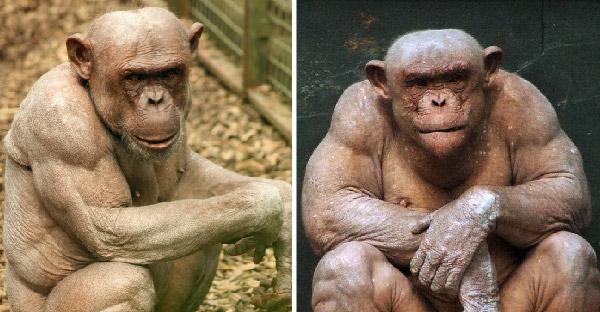 ชิมแปนซีไร้ขนเผยร่างกล้ามแน่นจนโด่งดังไปทั่วโลก