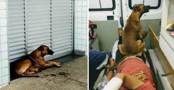 ตูบห่วงเจ้าของสุดหัวใจกระโดดตามขึ้นรถฉุกเฉิน และนอนเฝ้าหน้าโรงพยาบาลตลอดทั้งคืน