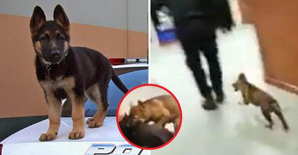 """ตำรวจโชว์การฝึกซ้อมการไล่จับและกัดขาคนร้ายของ """"สุนัขตำรวจตัวน้อย"""""""
