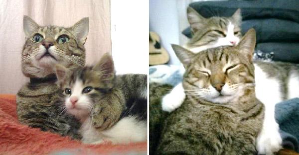 แมวสลิดหนุ่มช่วยลูกแมวตัวน้อยจากลานจอดรถ และคอยเฝ้าดูแลไม่ห่างกาย