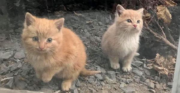 ลูกแมวจรจัดสองตัวผลุบๆโผล่ๆจากพุ่มไม้ และมาขออาศัยอยู่กับมนุษย์แบบแพคคู่