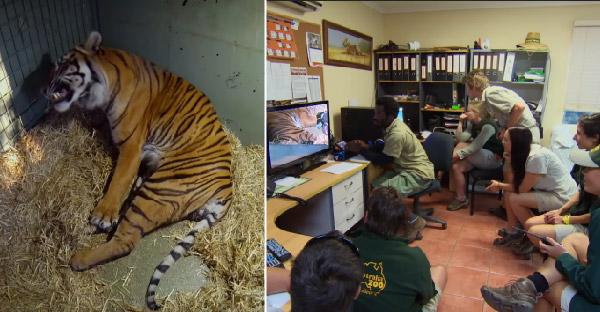 เจ้าหน้าที่ตั้งกล้องนั่งลุ้นเสือโคร่งให้กำเนิดลูก วินาทีชีวิตที่ลุ้นระทึกไปพร้อมๆกัน