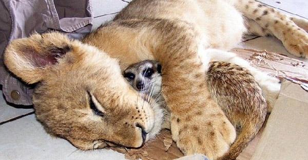 เมียร์แคตกระโดดเข้าไปเล่นกับลูกสิงโตตั้งแต่วันแรกที่เจอ และเติบโตเป็นเพื่อนสนิทที่สุดในชีวิต