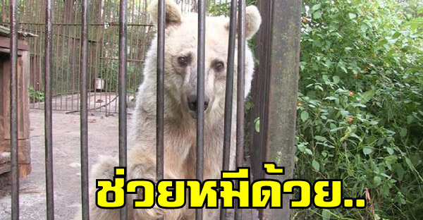 ช่วยชีวิตหมีตาเศร้าเฝ้ารอความช่วยเหลือ ไม่เคยมีความสุขซักครั้งตลอด 30 ปี