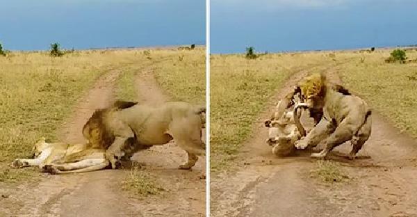 สิงโตตัวผู้หมดลายเจ้าป่า เมื่อไปกวนตัวเมียตอนหลับ จึงเจอตอบโต้กลับอย่างดุดัน