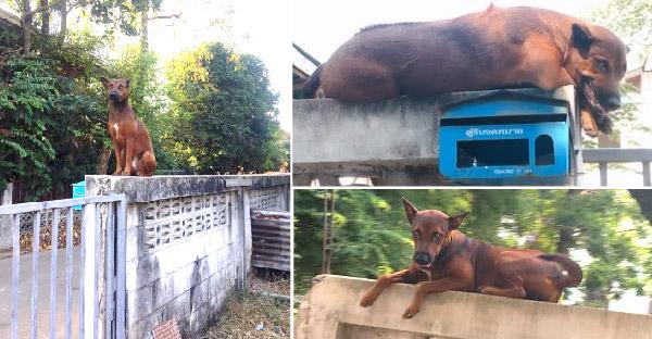 น้องหมาปีนกำแพงนอนเฝ้าตู้ไปรษณีย์ ที่ชอบทำแบบนี้เพราะเลียนแบบไก่ข้างบ้าน