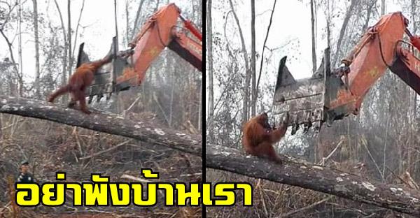 อุรังอุตังพยายามหยุดรถแทรกเตอร์ที่กำลังโค่นต้นไม้ ภาพสะท้อนอันน่าเศร้าที่เกิดขึ้นจริง