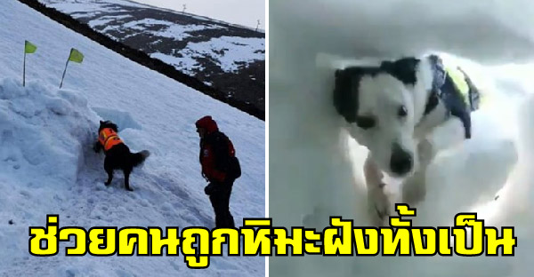 วินาทีสุนัขกู้ภัยช่วยคนถูกฝังด้วยหิมะ ที่ไม่คาดคิดว่าจะมีใครมาช่วยแล้ว