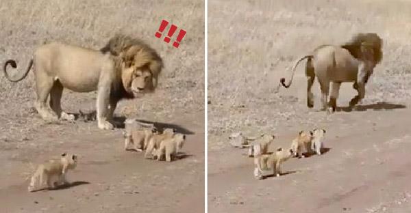 """สิงโตน้อย 4 ตัว วิ่งตาม """"พ่อสิงโต"""" ที่วิ่งหนีแล้ววิ่งหนีอีก แต่ลูกๆก็ยังตามมาตลอดทาง"""