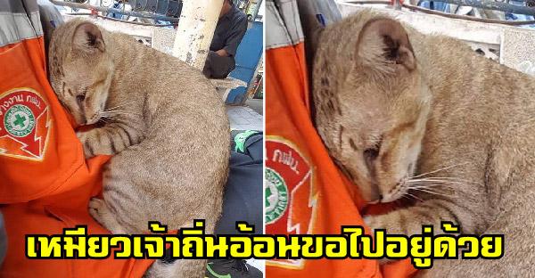 แมวเจ้าถิ่นอ้อนหนักมาก ปีนขึ้นนั่งตักนอนซบอก ชาวเนตเชียร์หิ้วกลับบ้านเลย