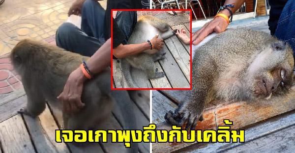 ลิงเกาะพีพีนึกว่าตัวเองเป็นหมา ถูกเกาพุงแป๊ปเดียว เคลิ้มหลับอย่างฟิน