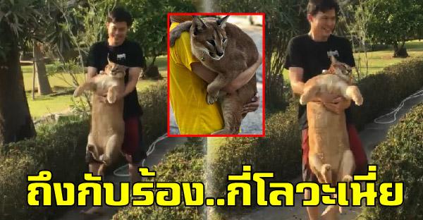 """""""ปริ้น"""" แมวคาราคัลหุ่นหมูป่า ขนาดทาสอุ้มเข้ากรงยังร้องว่ากี่โลวะเนี่ย"""