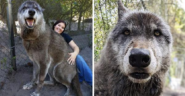 """เจ้าของทิ้ง """"วูล์ฟด็อก"""" ให้ถูกการุณยฆาต เพราะรับมือไม่ไหว แต่โชคดีศูนย์อนุรักษ์หมาป่าช่วยเอาไว้"""