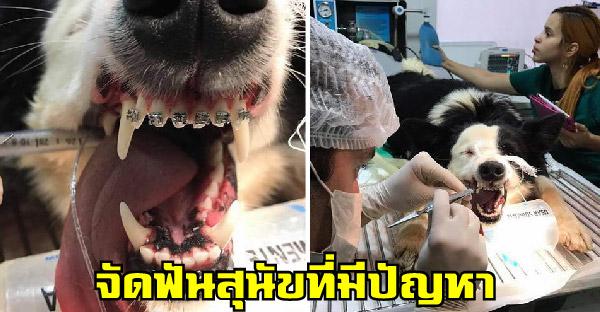 การจัดฟันสุนัขที่มีมานานเกือบ 40 ปี ที่ช่วยแก้ปัญหาสุขภาพไม่ใช่ทำเพราะแฟชั่น