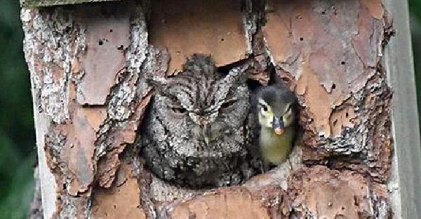 นกฮูกช่วยฟักลูกเป็ดนานร่วมเดือน ก่อนโผล่หน้ามาด้วยกันเซอร์ไพรซ์อย่างจัง