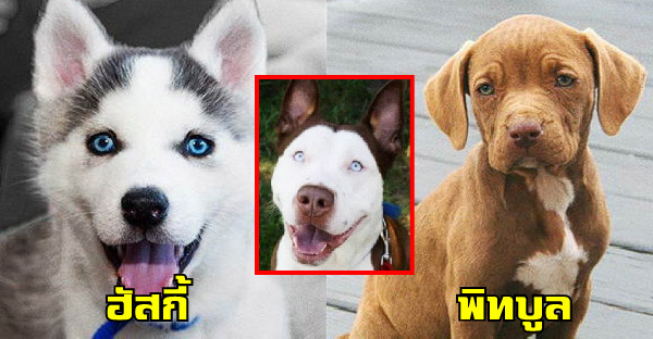 ถ้าผสมสุนัขข้ามสายพันธุ์ จะมีหน้าตาออกมาเป็นยังไงกันบ้าง