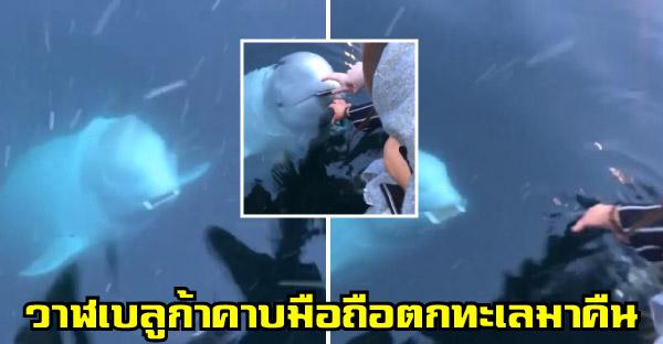 สาวทำไอโฟนตกน้ำไม่อยากเชื่อสายตา เพราะวาฬเบลูกาช่วยเก็บมือถือมาคืนให้ (♥∇♥)