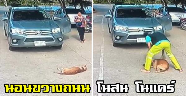 น้องหมานอนกลางถนน กระดิกหางไม่สนใจรถ เกลี้ยกล่อมก็ไม่สำเร็จ จึงต้องจัดการขั้นเด็ดขาด