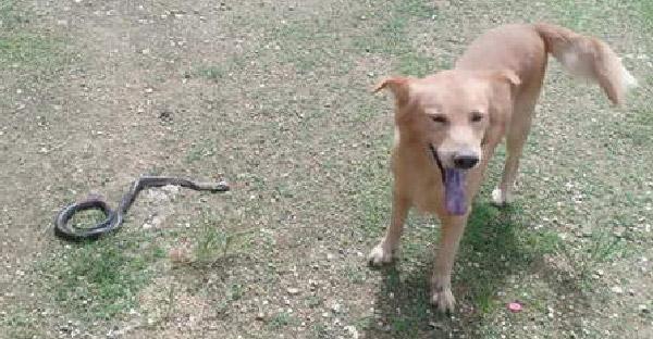 น้องหมาคาบงูเห่ามาโชว์เจ้าของด้วยความภูมิใจ ก่อนที่จะล้มลงในไม่กี่นาทีต่อมา