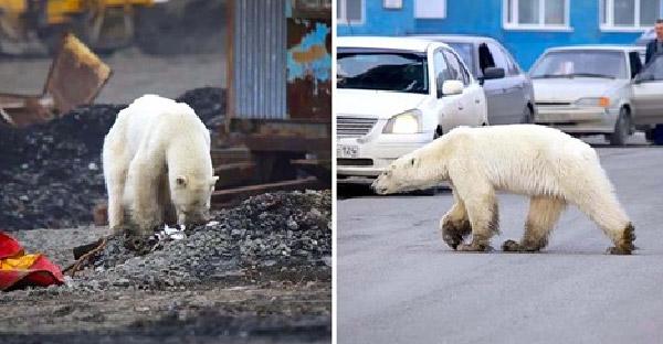 หมีขั้วโลกหาอาหารกินไม่ได้ หลงทางมาในเมืองที่อยู่ไกลกว่า 1,600 กิโลเมตร