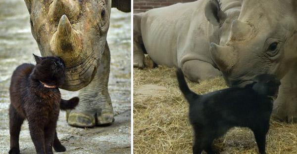 สวนสัตว์เช็กใช้แมวเป็นพี่เลี้ยงแรดดำใกล้สูญพันธุ์ คอยดูแลและปกป้องมานานนับ 20 ปี