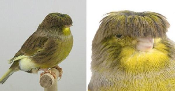 รู้จักสายพันธุ์นกขมิ้นสุดอินดี้ ที่เหมือนเอากะลามาครอบหัวไว้