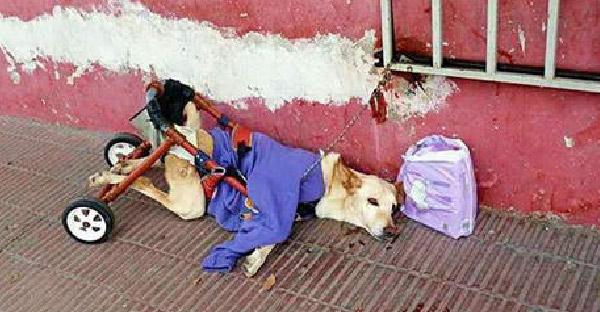 สุนัขเป็นอัมพาตท่อนล่างถูกทิ้งข้างถนน โดนล่ามไว้กับราวเหล็ก และข้างๆมีเพียงผ้าอ้อมหนึ่งถุง