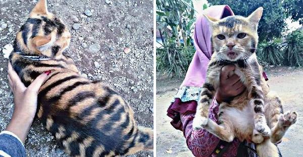 สาวเจอแมวลายเหมือนเสือโคร่ง คล้ายแมวพรรณพยัคฆ์ แต่ชาวเน็ตตั้งข้อสงสัยบางอย่าง