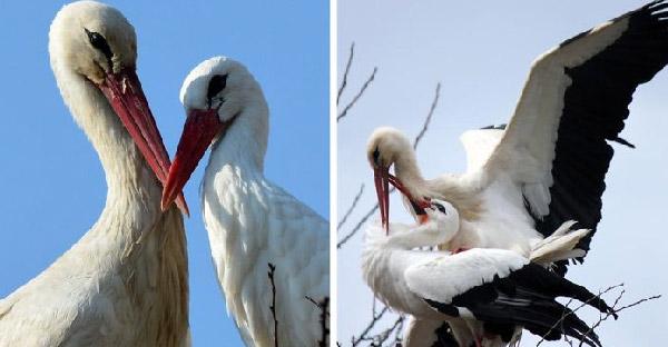 นกกระสาตัวผู้บินไกล 14,000 กิโลเมตรทุกปี เพื่อมาหาคู่ครองที่บินไม่ได้ตลอด 20 ปี