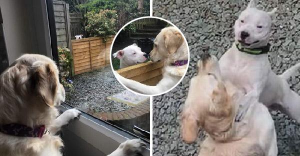 โกลเด้นเคยกลัวหมาใหญ่ฝังใจ จนได้เจอหมาข้างบ้านใหม่ พวกนางก็มุ้งมิ้งกันอย่างรวดเร็ว