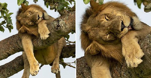 ช่างภาพสัตว์ป่าถ่ายภาพหายากของสิงโต ที่นอนหลับโชว์พุงห้อยบนต้นไม้อย่างฮา
