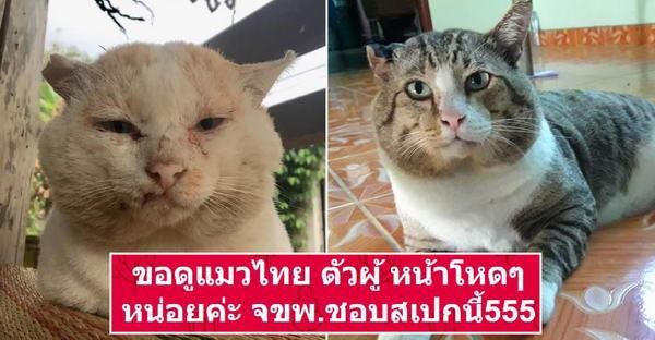 เมื่อทาสแมวขอดูแมวไทย ตัวผู้ หน้าโหดๆ ชาวเนตจึงจัดชุดใหญ่ให้อย่างฮา