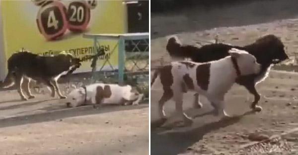 สุนัขจรจัดแสนรู้เห็นพิทบูลถูกล่ามไว้ จึงใช้ปากช่วยแก้มัดให้เพื่อนอย่างชาญฉลาด