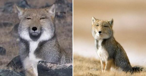 """พารู้จัก """"จิ้งจอกทิเบต"""" สัตว์โลกหน้ามึนตาไม่มีเหล่าเต๊ง หมดราศีความเจ้าเล่ห์ของสายพันธุ์"""