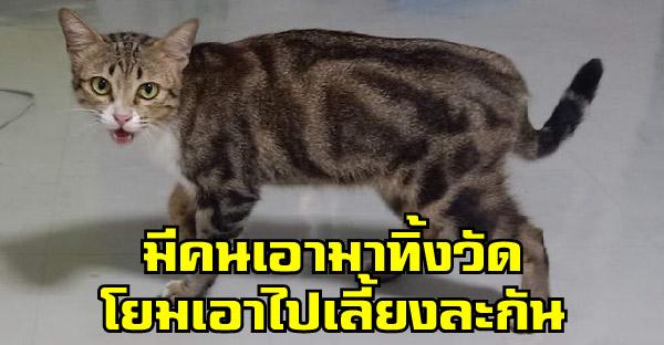 หลวงตาเห็นสาวช่วยลูกแมวในวัด จึงเสนอแมวให้เลี้ยงและเธอรับไว้ โดยที่ไม่รู้ว่าคืออเมริกัน ช็อตแฮร์