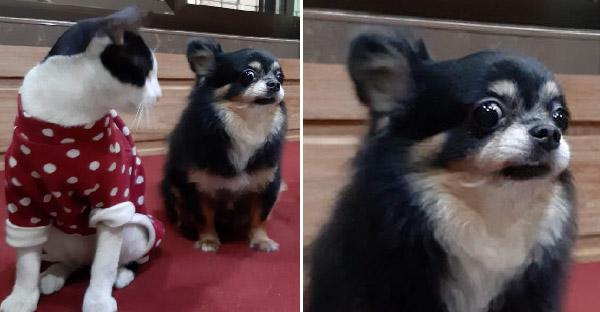 แมวหลงเข้ายึดบ้านทาสหมา ขนาดหมาเจ้าถิ่นยังเกรงใจนาง จนไม่กล้าสบตา