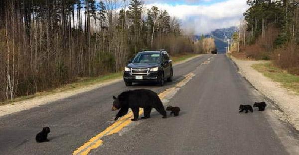 หมีดำตัวน้อยอ่อนแอเกินไป จนแม่หมีปล่อยไว้กลางถนน ท่ามกลางสายตาฝูงชนที่สัญจรไปมา