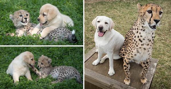 ลูกเสือชีตาห์ขี้อายไม่กล้าเข้าสังคม แต่ลาบราดอร์น้อยช่วยเปิดใจ จนรักใคร่กลมเกลียวกันสุดๆ