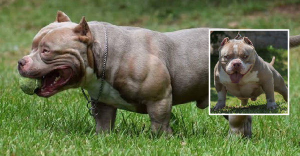 9 สายพันธุ์สุนัขกล้ามแน่น ที่มีร่างกายกำยำและแข็งแรงเกินใคร